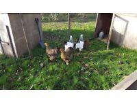 Brahmas Large & Bantam pullets for Sale. Chickens,
