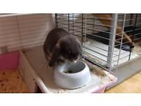 Blue mini lop female rabbit for sale