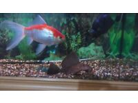 goldfish plus tank