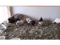 quails for sale can deliver