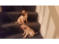 stunning puggle puppies