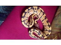 Male fire ball python