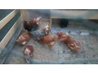 Brown Chicken egg laying hens