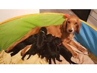 Sprocker Spaniel Puppies for sale 2 boys 4 girls