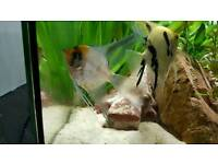 large angel fish for sale