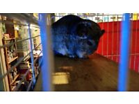 2 male chinchillas for sale with large cage