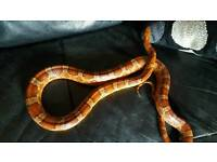 CORN SNAKES VARIOUS MORPHS FOR SALE