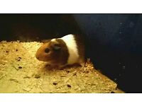 Guinea pig female 5 months old.