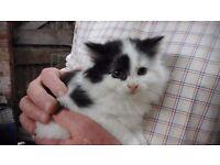 Sweet black and white kittens