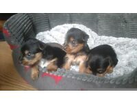 Yorkie's yorkshire terrier pups for sale
