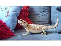 18 mths old female bearded dragon