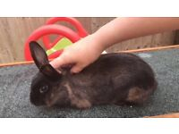 Beautiful female Rex rabbit 4months old with hutch