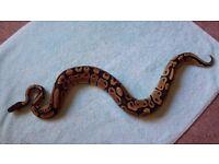 Female royal python 1 yeat old