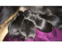 Rottweiler x husky puppies for sale