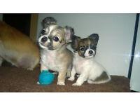 Chihuahua x Shih tzu puppies