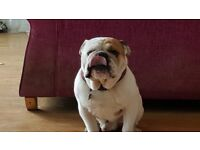 English bulldog 2 and 1/2 years old