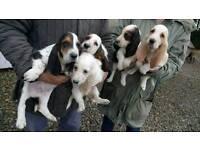 Bassett hound. Puppies