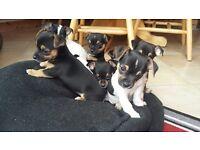 Chihuahua x miniature Jack Russel puppies Jackwawa