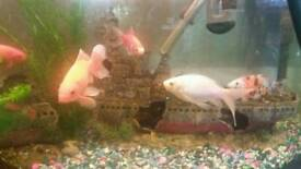 Lovely goldfish for sale. Urgently need new homes as tank is far too crowded :(