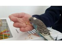 Hand tamed baby budgie with cage and toys