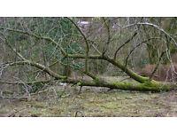 FREE DIY Woodburner Logs Large Fallen Tree Needs Chopping & Removing