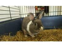 Female and male adult rabbits for sale