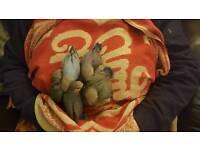 Hand reared babie lovrbirds for sale