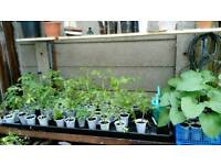 Tomato and runner bean plants