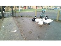 4 ducks and 4 geese