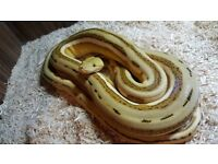 OGS Tiger Reticulated Python