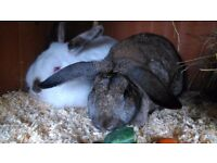 Pair of female rabbits for sale