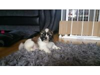 Shih tzu pups only 2 girls left