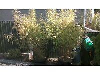 golden bamboo plants x 2