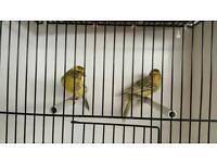 Lizard canaries cock