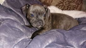 ** LILLY THE STUNNING BLUE FIVE STAR STUNNING FRENCH BULL DOG X STAFFY PUPPY FOR SALE **