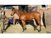 16hh bay thoroughbred gelding for sale