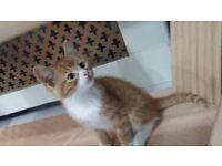 Very handsome male ginger kitten for sale