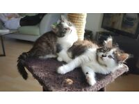 Long Haired Siberian X Ragdoll Kittens both female