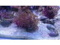 Corals frags for sale in paisley