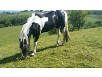 two stunning mare full loan or sale
