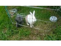 Two young female rabbits