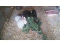 4 Netherland dwarf rabbits 10 weeks