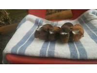 Guinea Pig call me 07341 555741