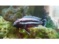 3 Malawi Cichlids for sale