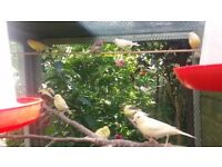 Lovely canaries approx 23 in total for sale.
