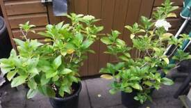 2 X GARDEN SHRUBS (HYDRANGEA) ↔READ THE AD ↔