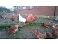small selection of point of lay lohmann brown hybrid chickens for sale