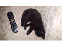 Beautiful little black kitten. 12 weeks old. Wormed and Flead. Litter trained