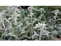 STACHYS BYZANTINA/LAMB'S-EAR LEAVES FOR FLORISTRY