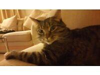 Lost my Tabby cat